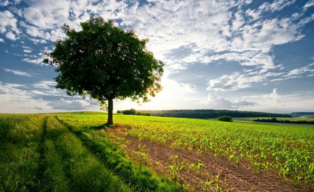 1499 Одинокие деревья на полях
