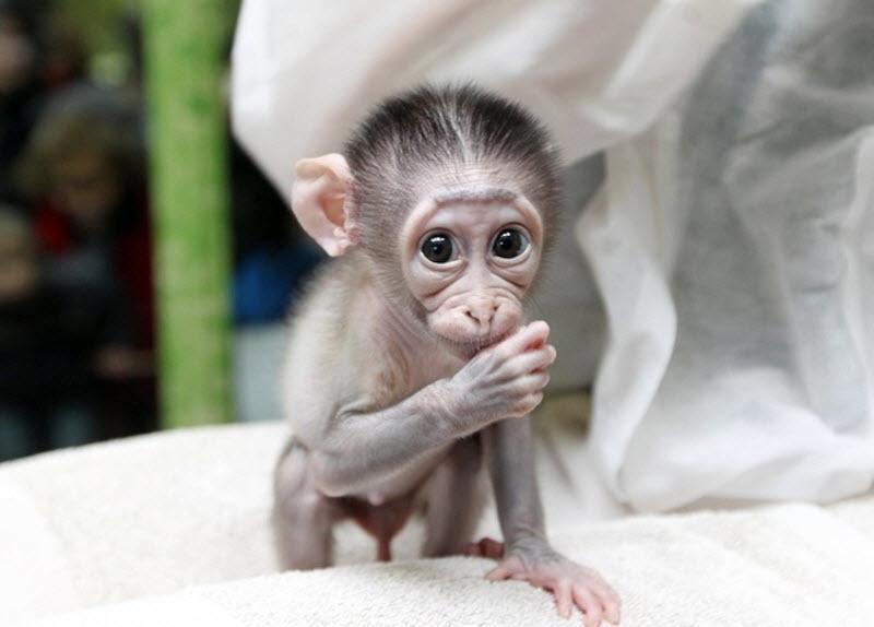 1505 Очень стеснительная обезьянка