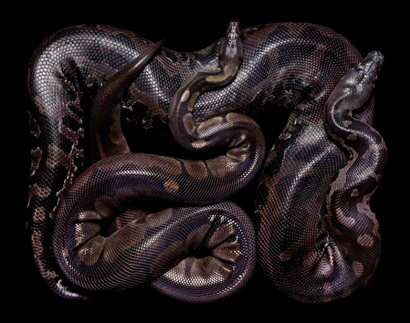 1658 Змеиная коллекция Гвидо Мокафико