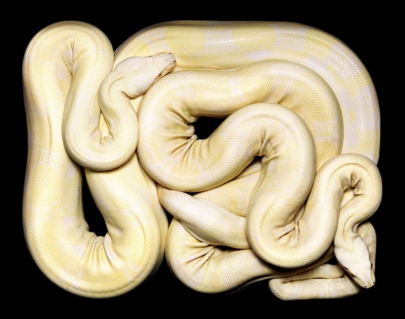 1755 Змеиная коллекция Гвидо Мокафико