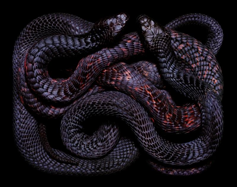 2047 Змеиная коллекция Гвидо Мокафико