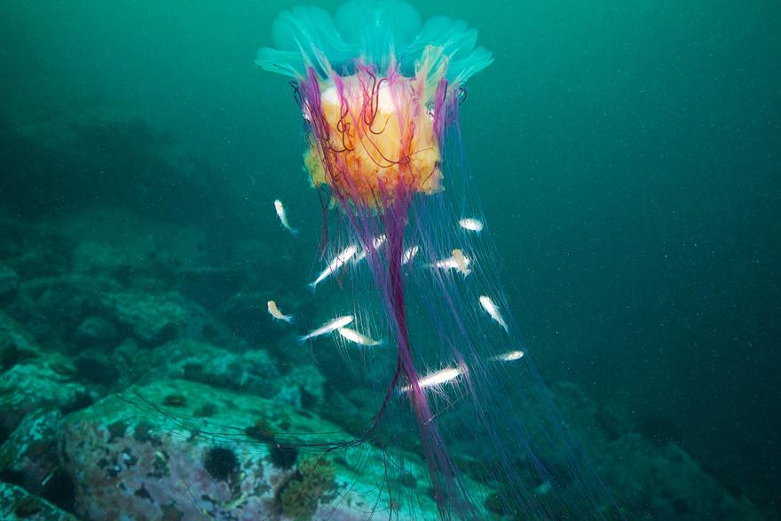 2236 Подводные чудеса Белого моря на фото Александра Семенова
