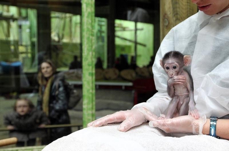 2283 Очень стеснительная обезьянка