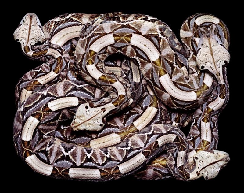 2336 Змеиная коллекция Гвидо Мокафико