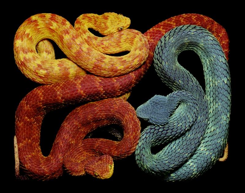 2434 Змеиная коллекция Гвидо Мокафико