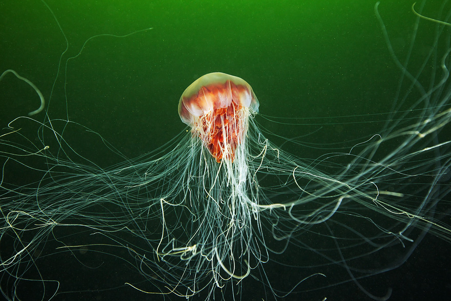 2621 Подводные чудеса Белого моря на фото Александра Семенова
