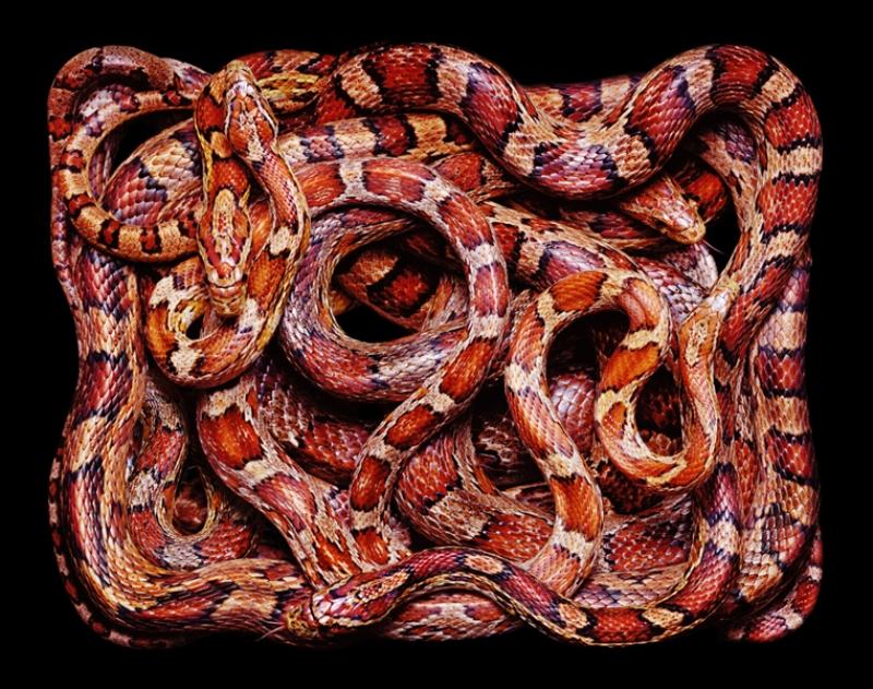 2624 Змеиная коллекция Гвидо Мокафико