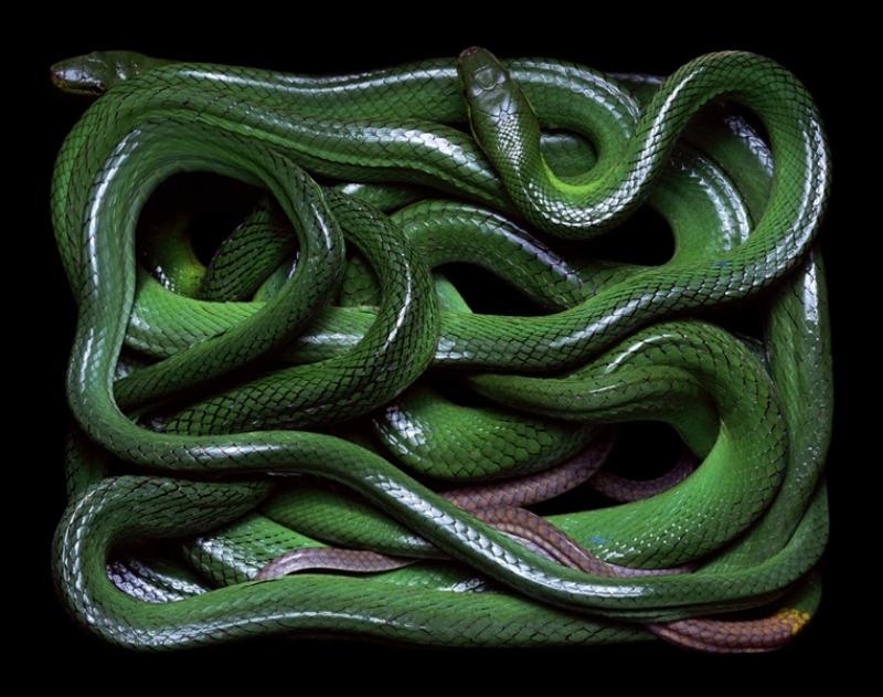 2722 Змеиная коллекция Гвидо Мокафико