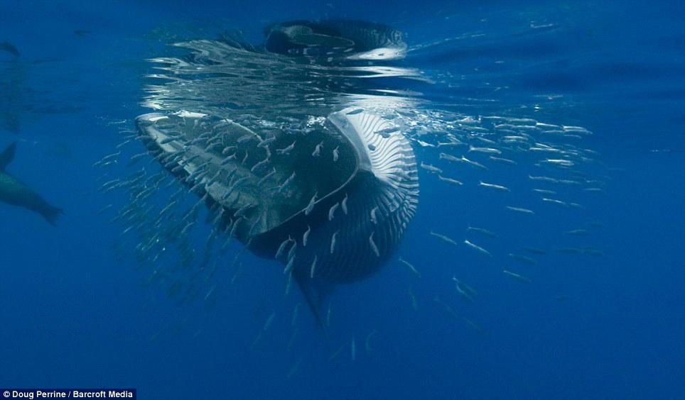 2BRMmmbO Обедающий китедва непроглотил фотографа