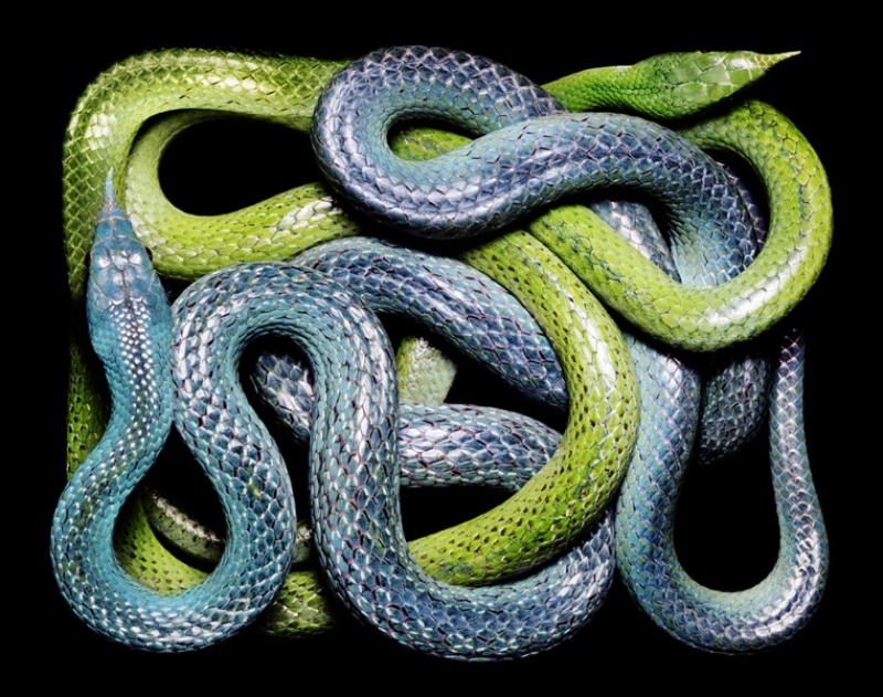 3017 Змеиная коллекция Гвидо Мокафико