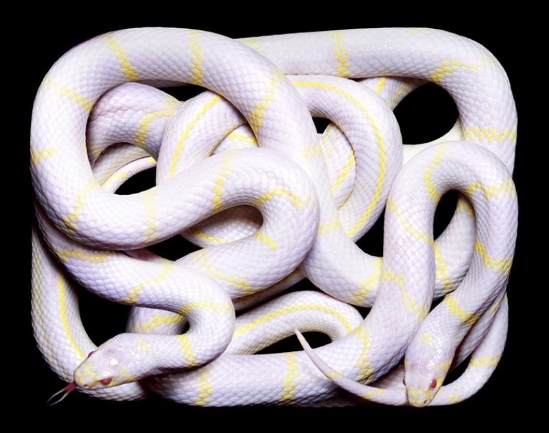 3316 Змеиная коллекция Гвидо Мокафико