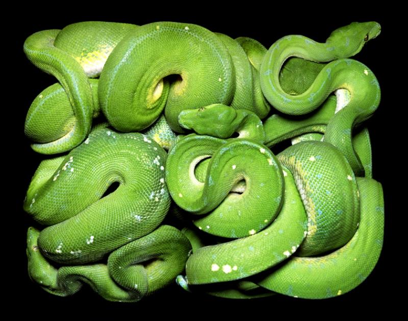 3413 Змеиная коллекция Гвидо Мокафико