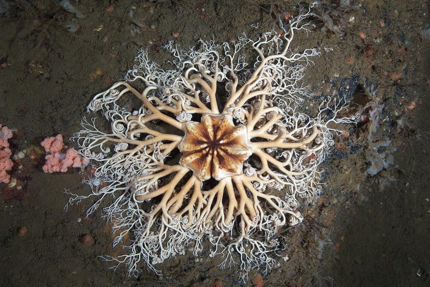 4106 Подводные чудеса Белого моря нафото Александра Семенова