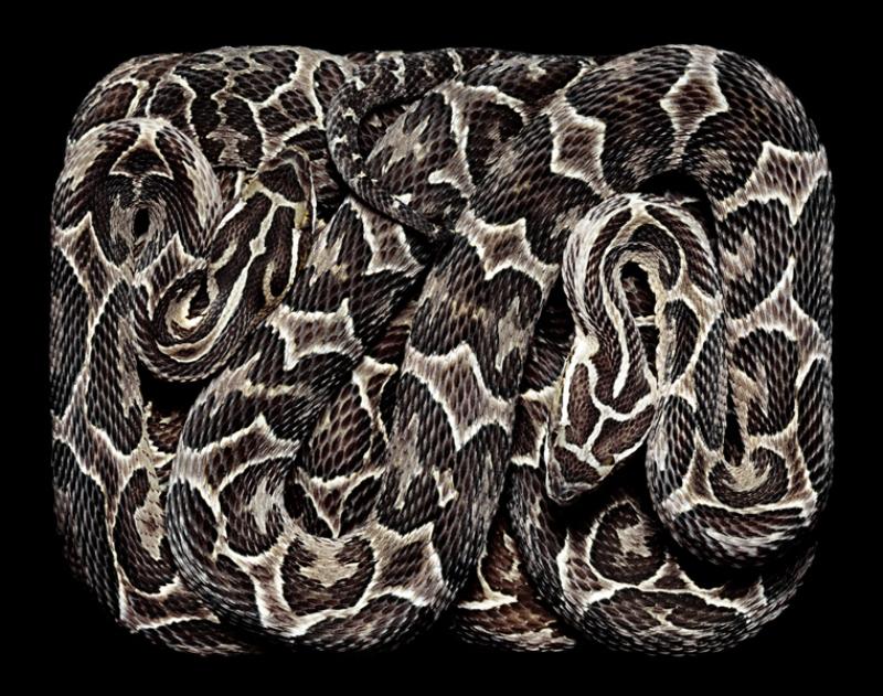 4127 Змеиная коллекция Гвидо Мокафико