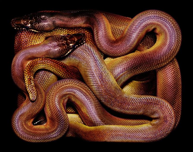 4128 Змеиная коллекция Гвидо Мокафико