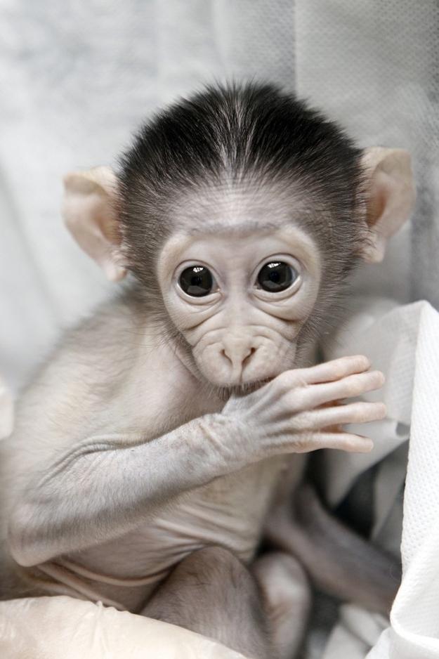 4166 Очень стеснительная обезьянка