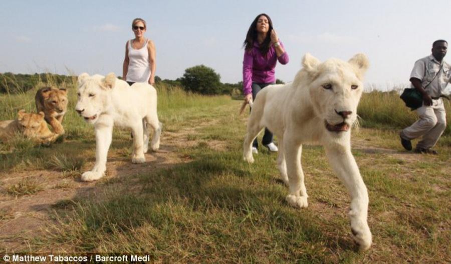 4188 Прогулка со львами