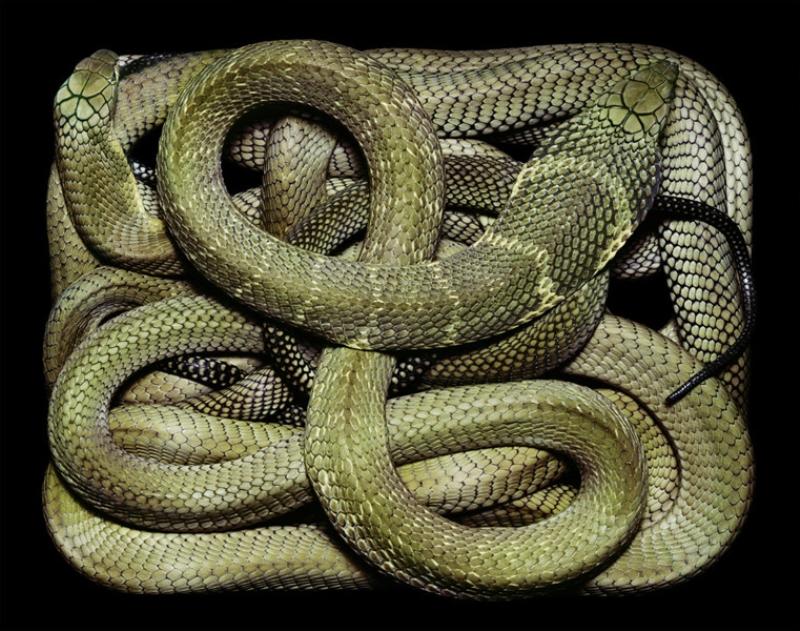 4712 Змеиная коллекция Гвидо Мокафико