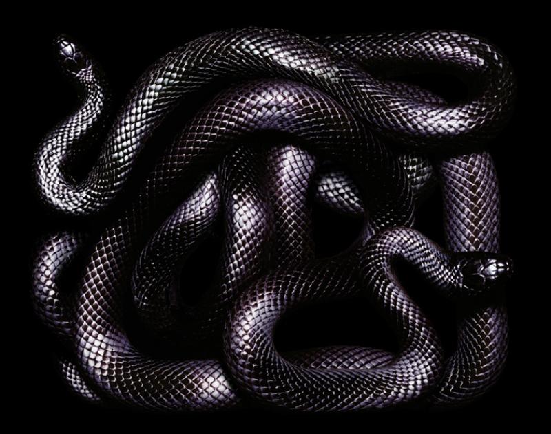 504 Змеиная коллекция Гвидо Мокафико