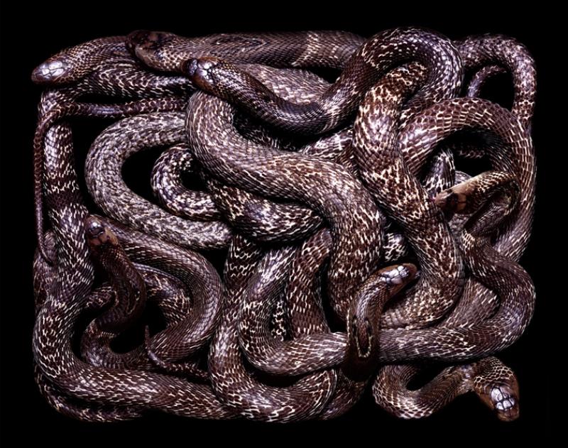 5108 Змеиная коллекция Гвидо Мокафико
