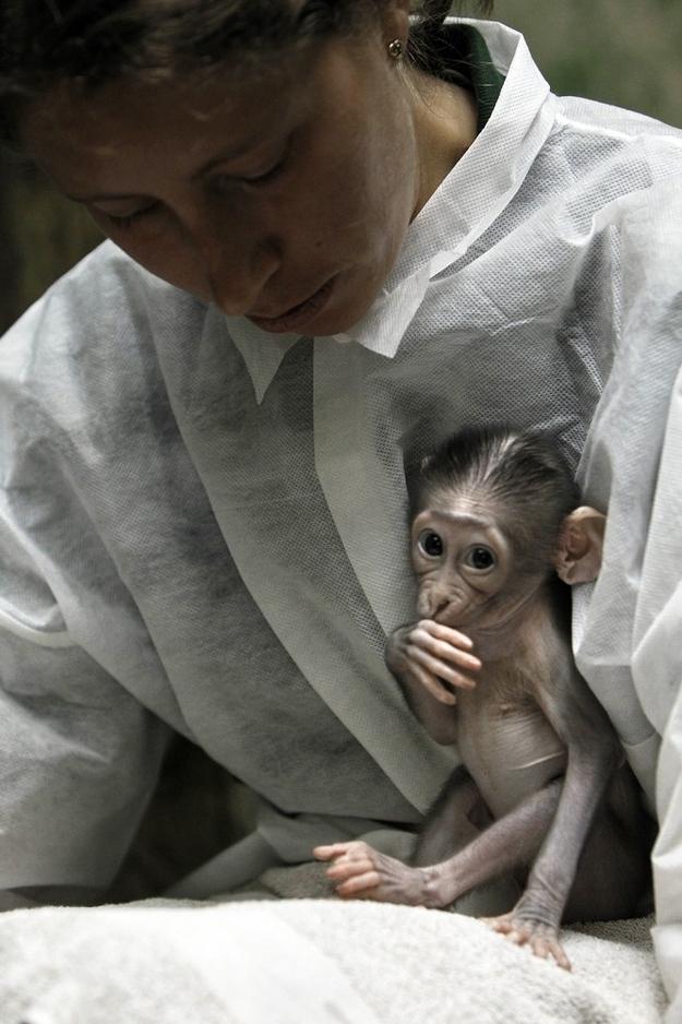 5150 Очень стеснительная обезьянка