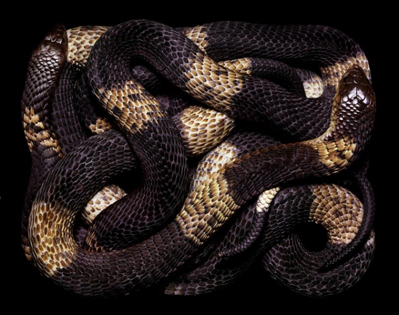 5212 Змеиная коллекция Гвидо Мокафико