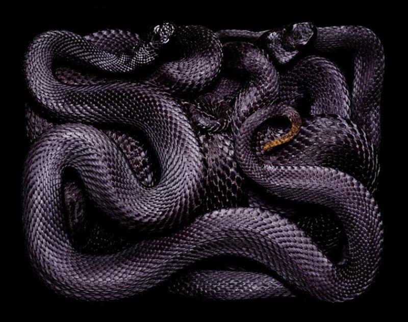 5312 Змеиная коллекция Гвидо Мокафико
