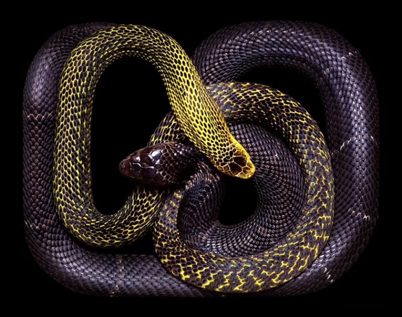 6100 Змеиная коллекция Гвидо Мокафико