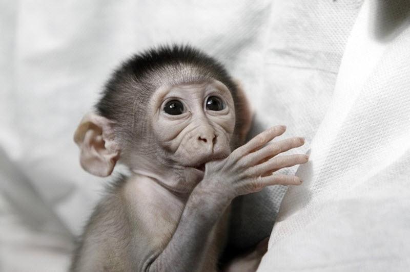 6138 Очень стеснительная обезьянка