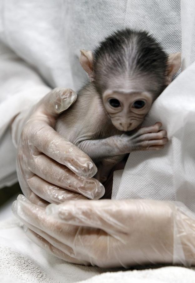 7127 Очень стеснительная обезьянка