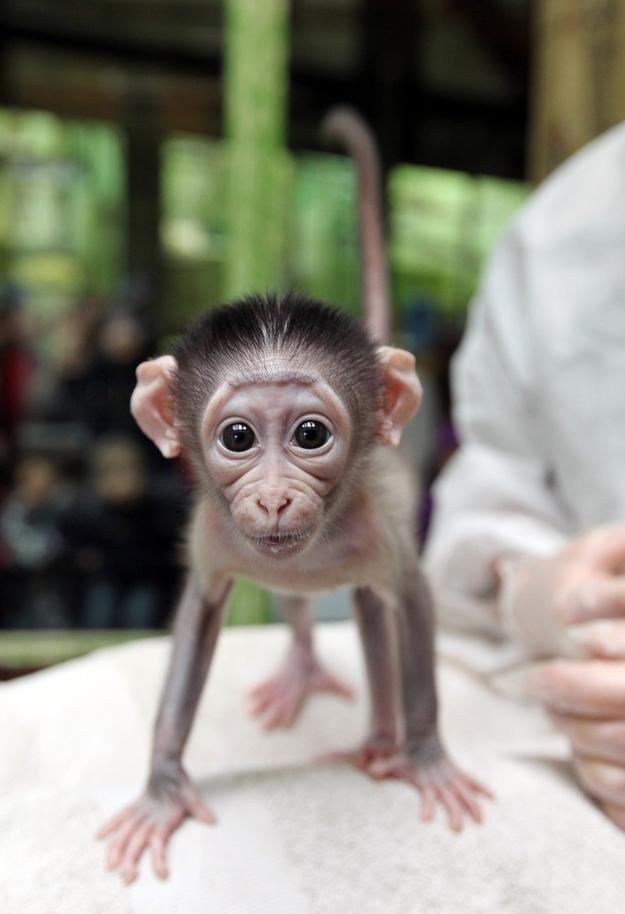 8124 Очень стеснительная обезьянка