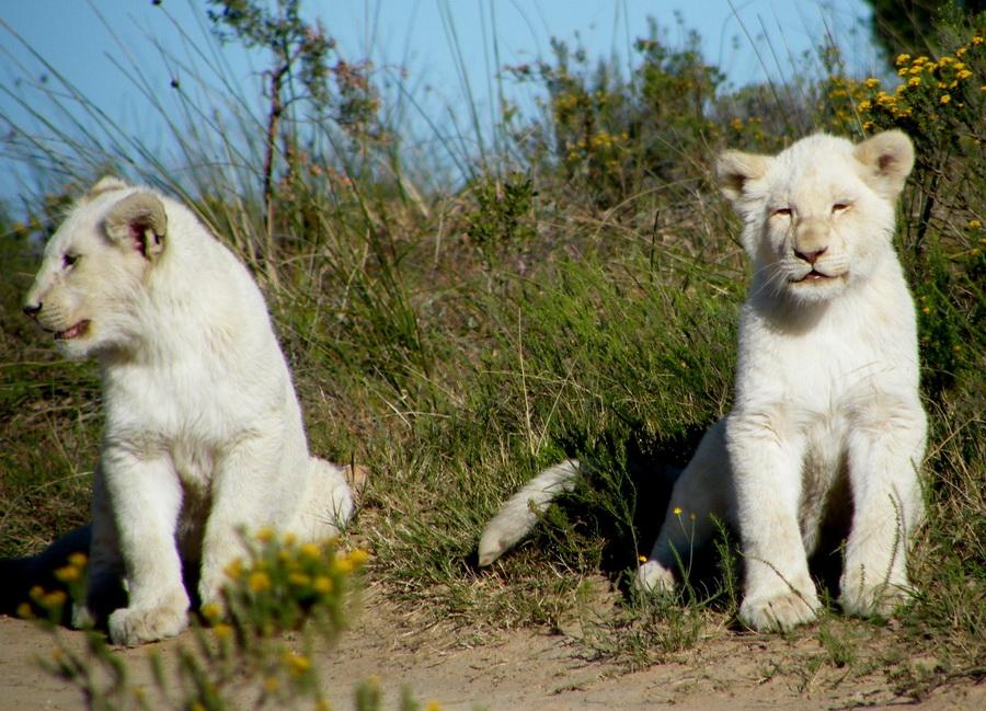 8143 Прогулка со львами