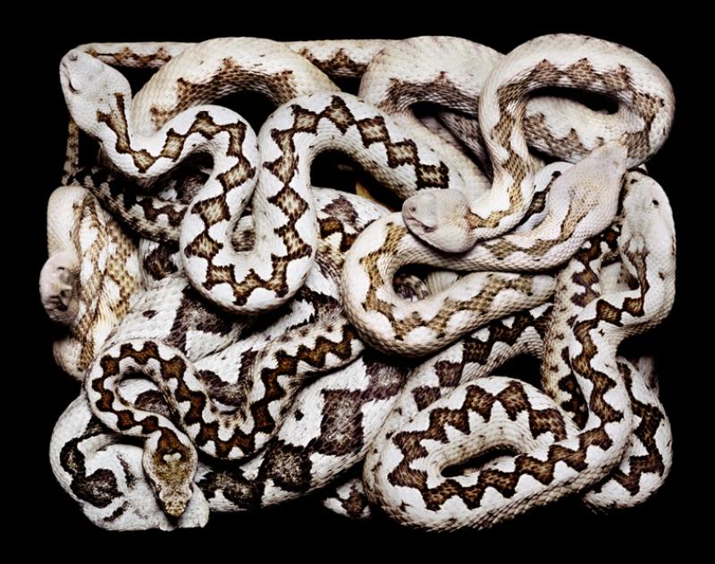 889 Змеиная коллекция Гвидо Мокафико