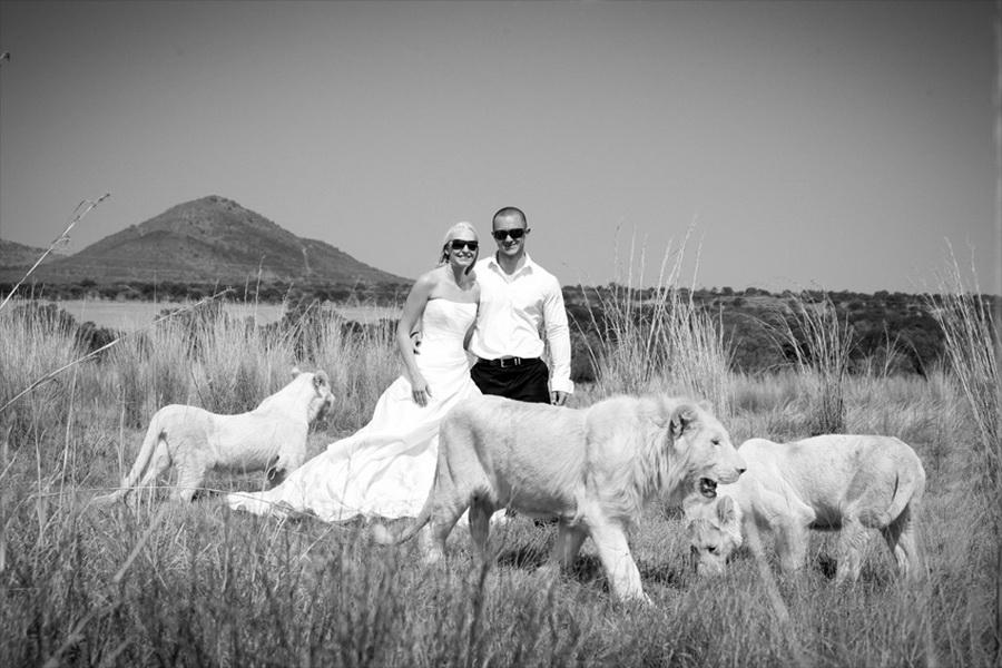 9136 Прогулка со львами