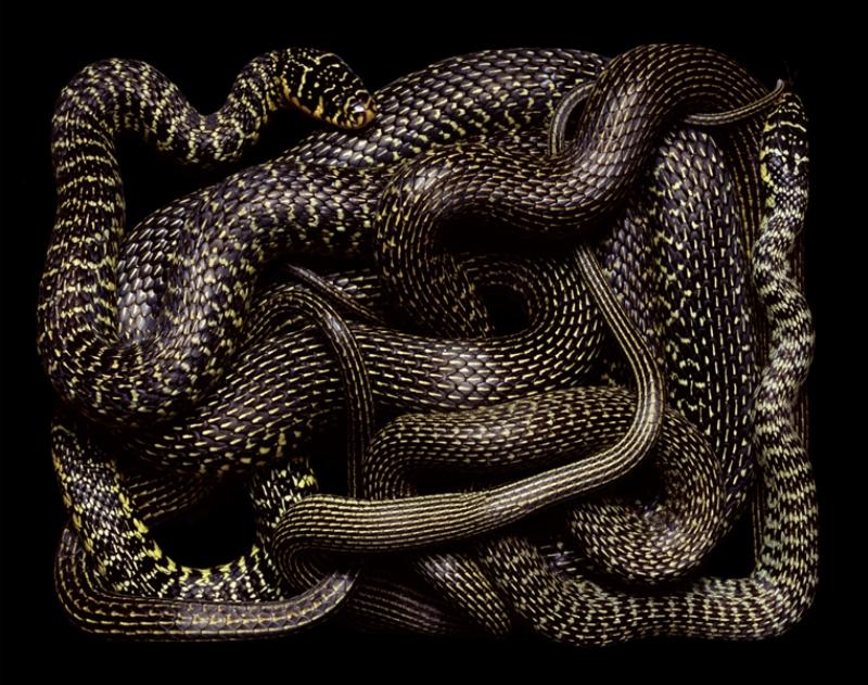 985 Змеиная коллекция Гвидо Мокафико