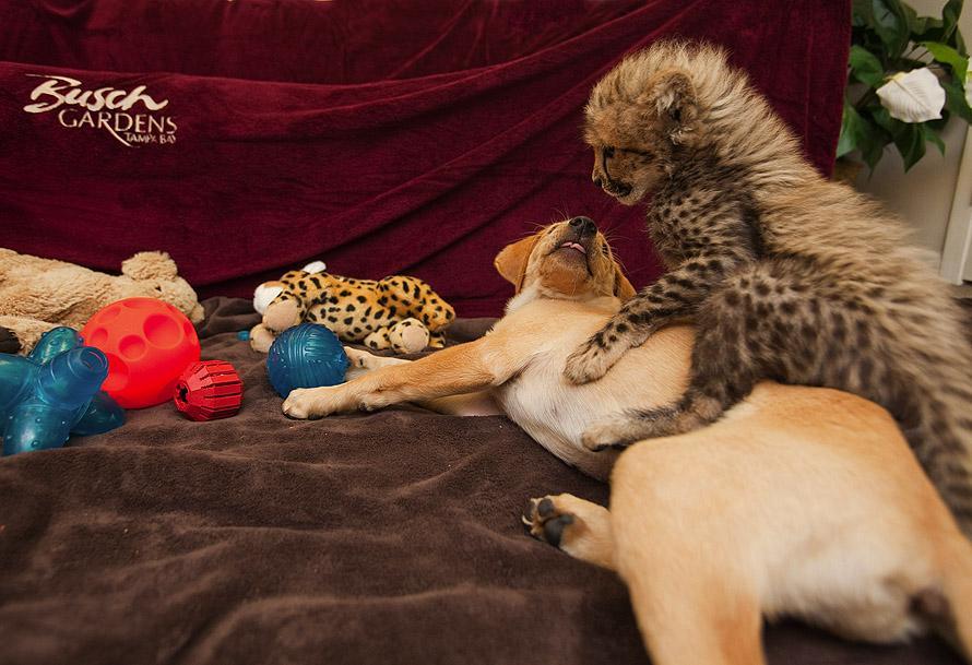 April 2011 2 Лучшие друзья гепард и лабрадор вместе уже год
