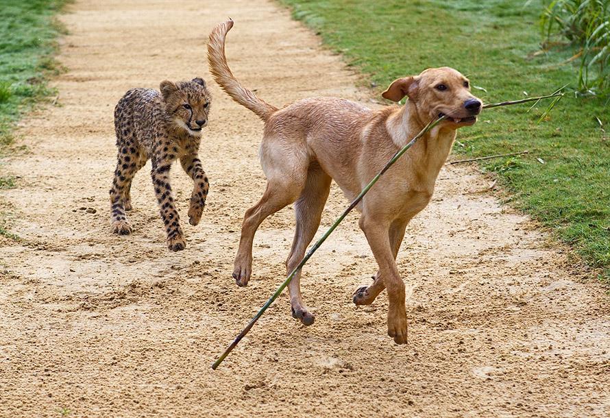 August 2011 1 Лучшие друзья гепард и лабрадор вместе уже год