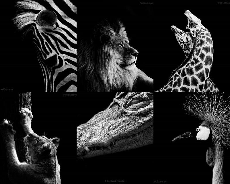 BIGPIC13 Темный зоопарк Ника Эваристе