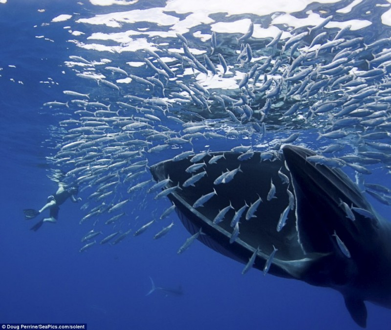 BIGPIC25 800x674 Обедающий кит едва не проглотил фотографа