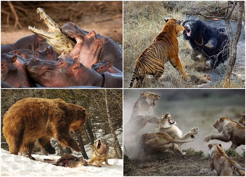 BIGPIC30 Топ 10 самых впечатляющих стычек животных