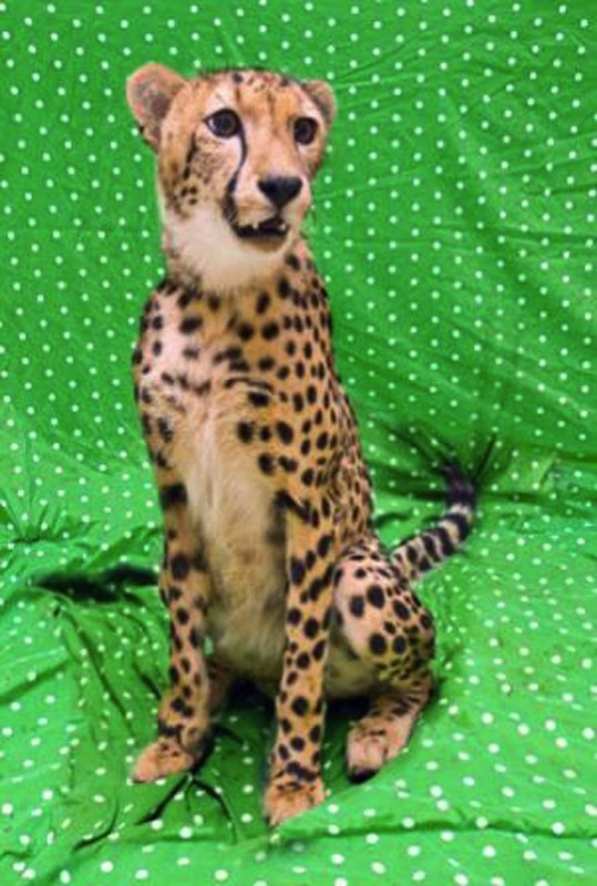 Kasi March 2012 539x800 Лучшие друзья гепард и лабрадор вместе уже год