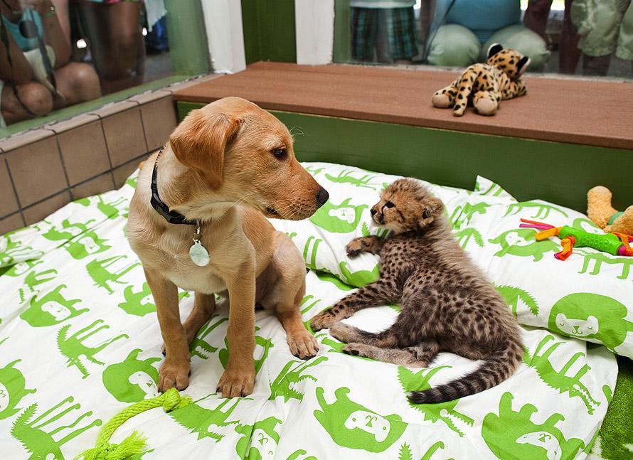 May 2011 2 Лучшие друзья гепард и лабрадор вместе уже год
