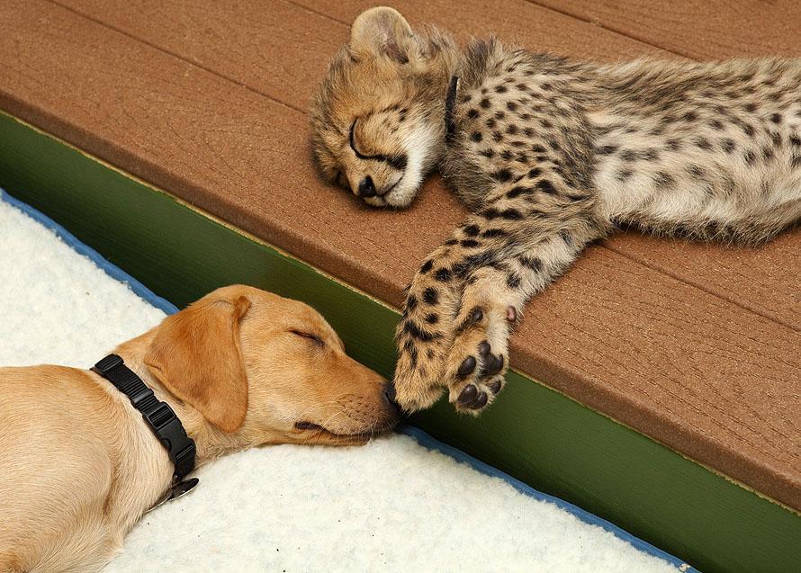 May 2011 3 Лучшие друзья гепард и лабрадор вместе уже год