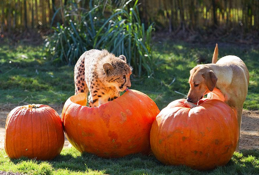 October 2011 Лучшие друзья гепард и лабрадор вместе уже год