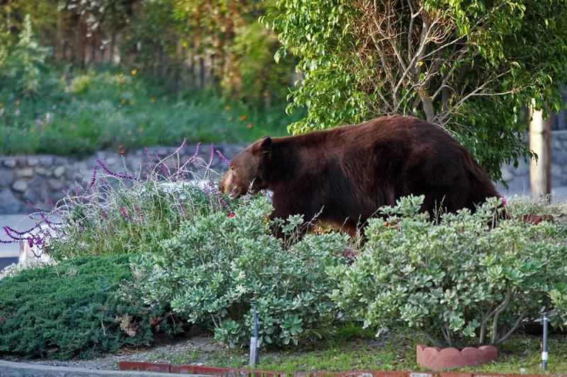 По пригородам Лос-Анджелеса бродит медведь