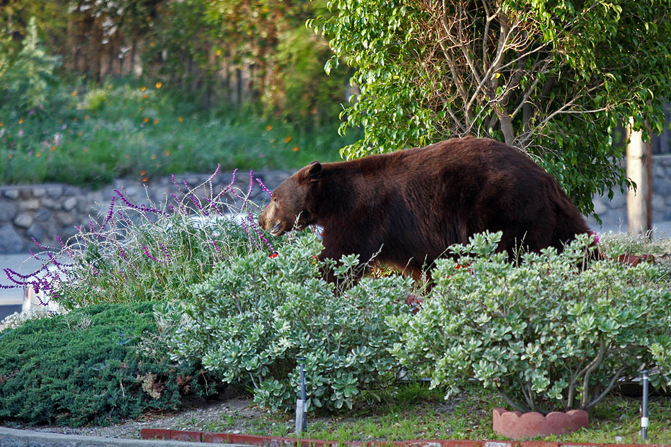 bear01 По пригородам Лос Анджелеса бродит медведь