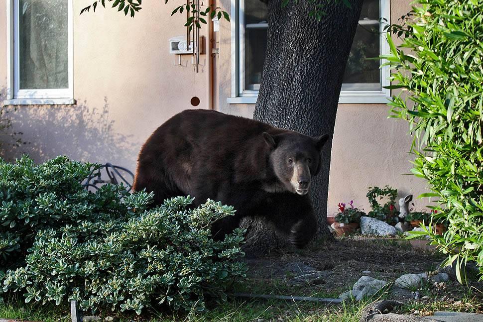 bear04 По пригородам Лос Анджелеса бродит медведь