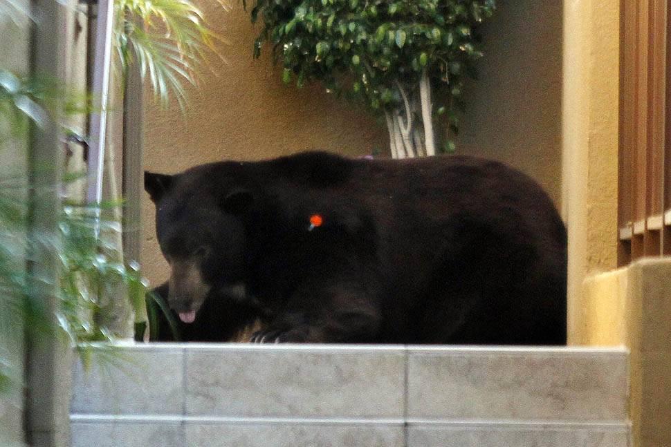 bear07 По пригородам Лос Анджелеса бродит медведь