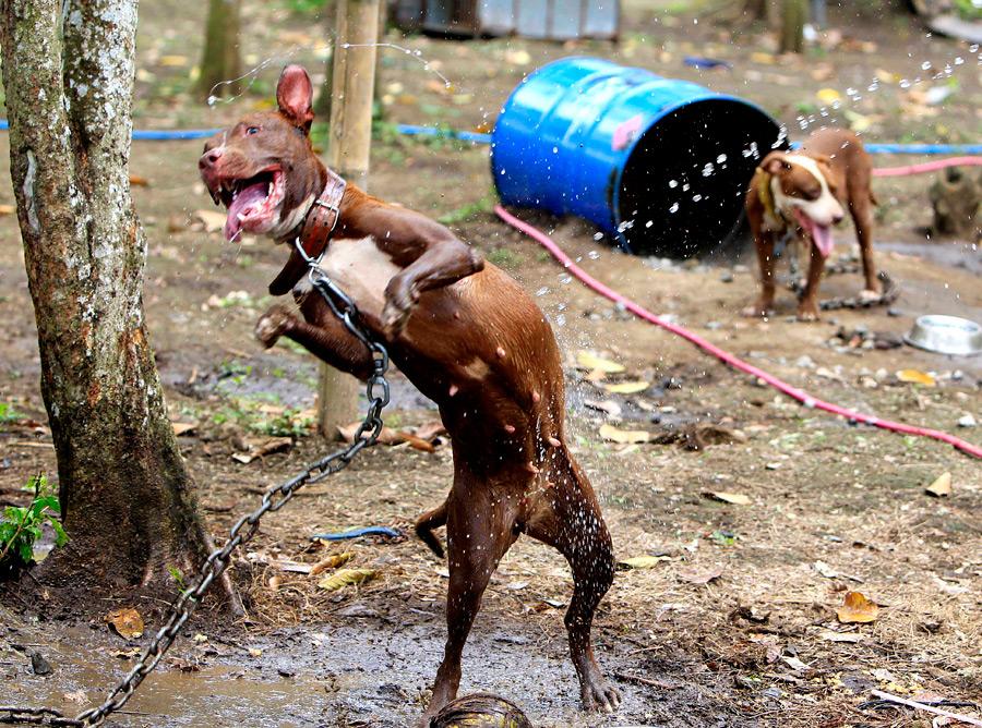 dogs01 На Филиппинах защитники животных обнаружили собачий концлагерь