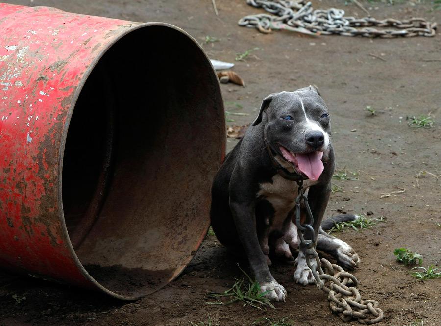 dogs05 На Филиппинах защитники животных обнаружили собачий концлагерь